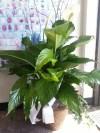 Plant 515