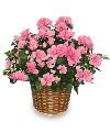 Azelia Plant